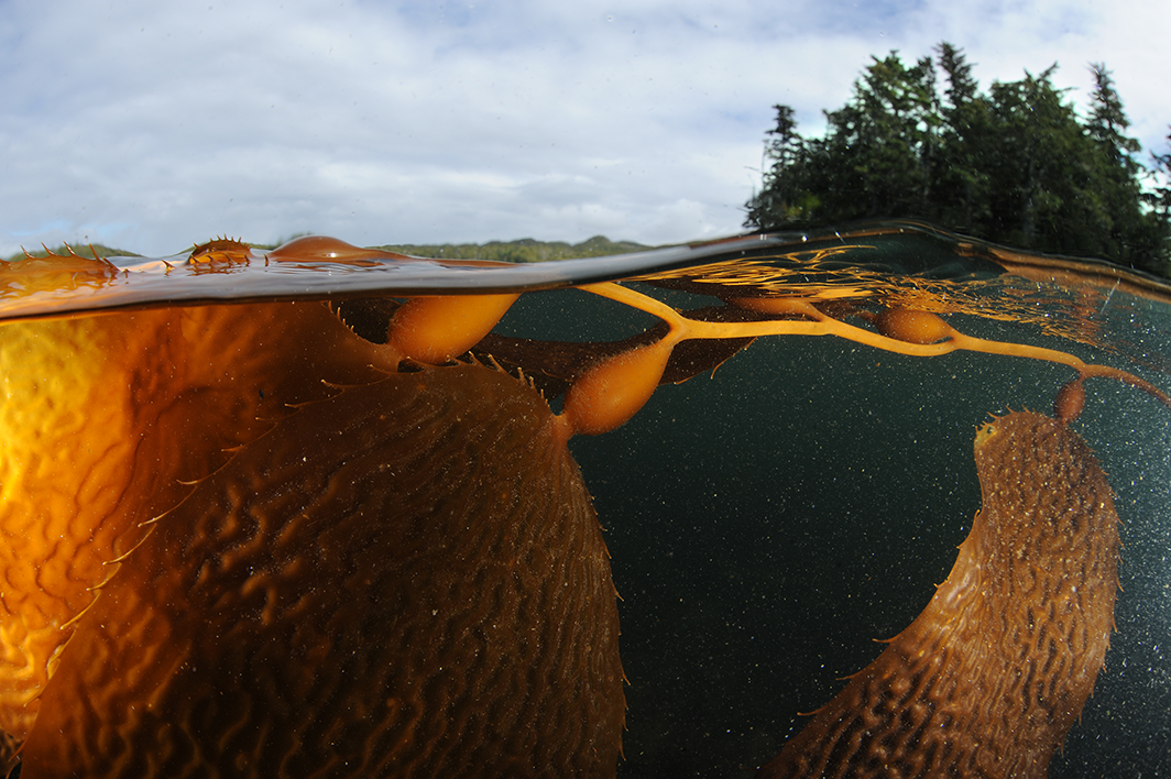 Marine plants like this bull kelp could provide a new way to capture and store carbon. Photo: Thomas P. Peschak.