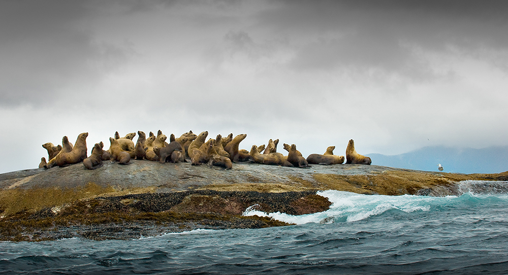 Sea lions on rocks at Garcin Rocks, Gwaii Haanas in the GBR. Photo: Andrew S. Wright.