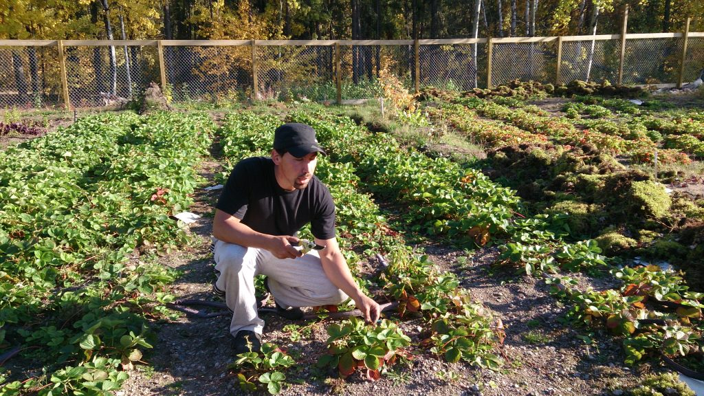 Brian Trewin of Grow North talking about the strawberries